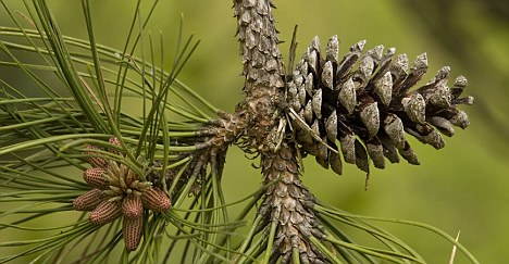 marine pine bark extract nootropic benefits