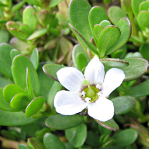 This Powerful Ancient Herb is Proven to Open Your Third Eye Bacopa_monnieri-300x300