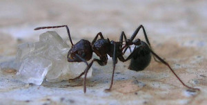 ant-eating-sugar