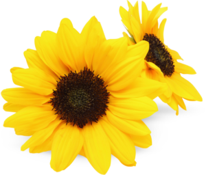 sunflower PS